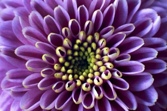 Paarse bloem met geel