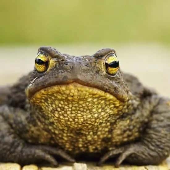 Close up van een kikker